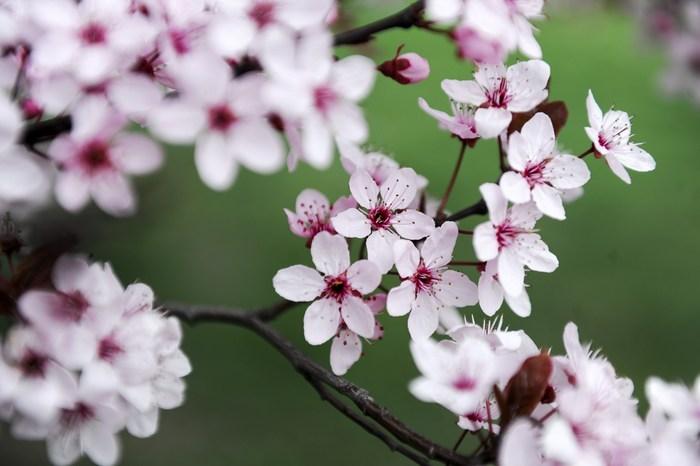Sakura, festivalul primăverii întrupate în florile de cireş, Tokio, 1 aprilie 2014