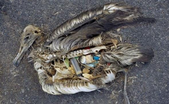 Conţinutul stomacului unui pui de albatros mort pe Atolul Midway - include bucăţi de plastic
