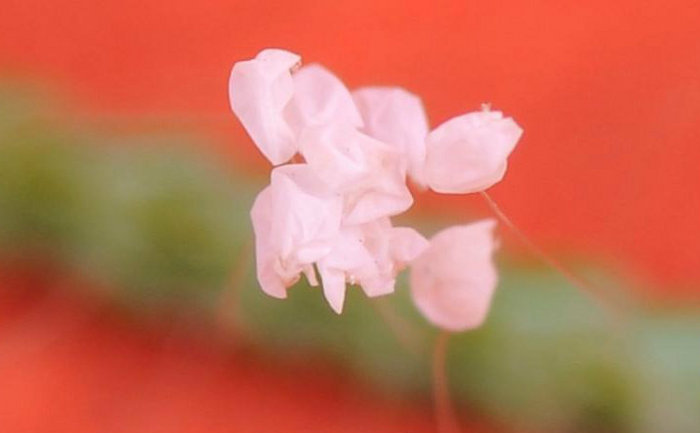 Florile Udumbara pe un ac de pin. Fotografie prin microscop.