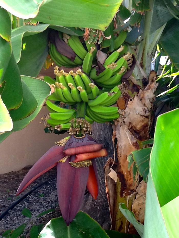 """Florile de banane de culoare alb-gălbui, înfloresc în iunie-iulie şi sunt protejate de bractee (frunze învăluitoare) de culoare violet. Apar mai târziu fructele (capsule verzi), aşa-numitele banane, care cresc în grupuri numite """"mâini"""", aranjate în grupuri înclinate, numite """"cască""""."""