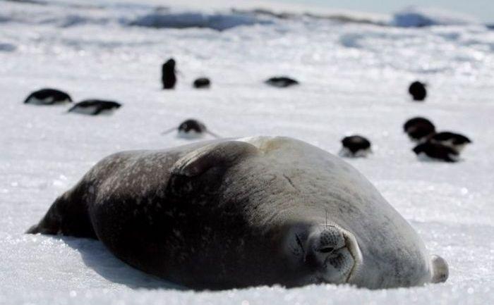 O focă Weddell se odihneşte pe gheaţa de la Capul Denison, Commonwealth Bay, estul Antarcticii.