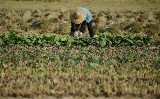 Un ţăran culegând recolta într-un sat din provincia chineză Zhejiang, 19 nov.2013. China suferă de un sever decalaj economic, 468 de milioane de oameni cheltuind sub 2$ pe zi.