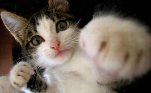 Pisica boxer