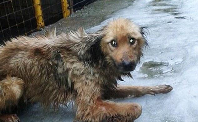 Câine adăpost public Baia Mare