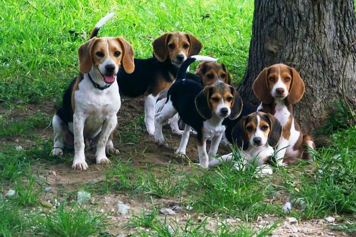 ce mananca beagle