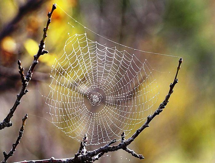 Pânză păianjen