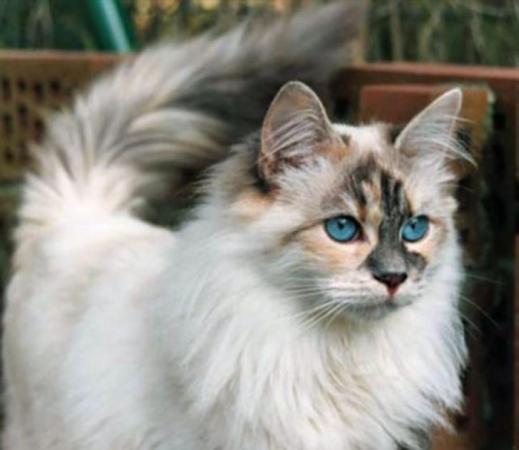 Pisică Ojos Azules