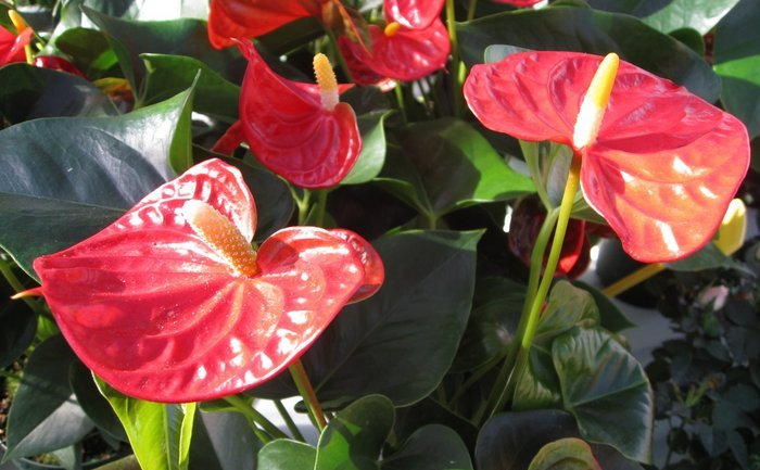 Floarea Flamingo (Anthurium)