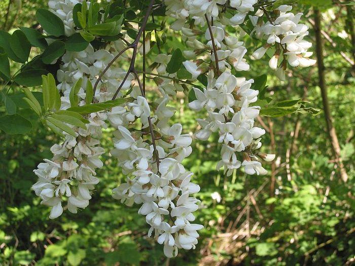 Floare de salcâm