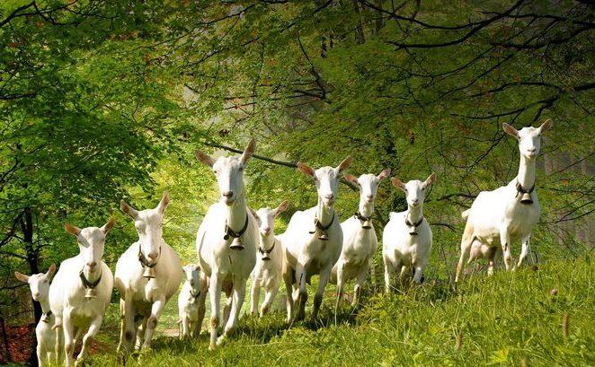 Calităţile laptelui de capră