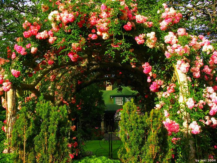 Trandafiri urcători care înfloresc toată vara