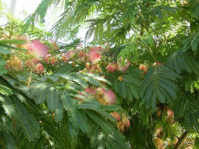 Arborele de mătase