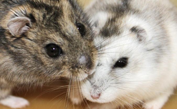Hamsterii pitici rusesti (P. campbelli) | Firsthamster