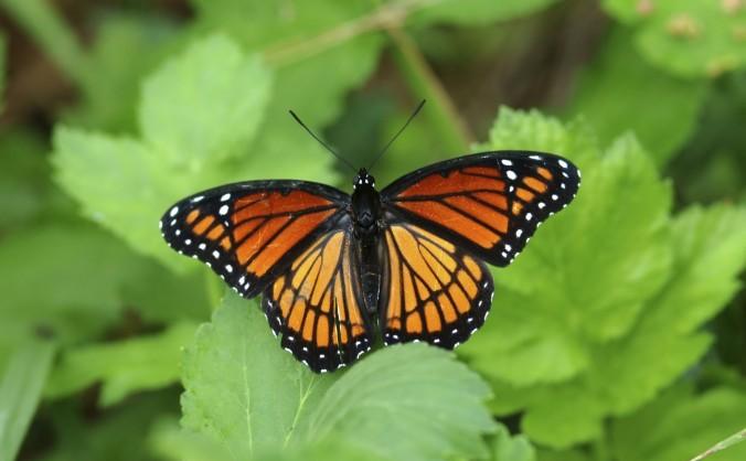 Fluture din specia Monarh