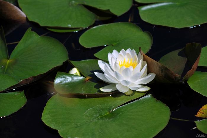 Floarea de lotus inconjurata de frunze ce pot ajunge la un diametru de 80 de cm.
