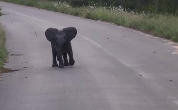 Pui de elefant fugind după păsări