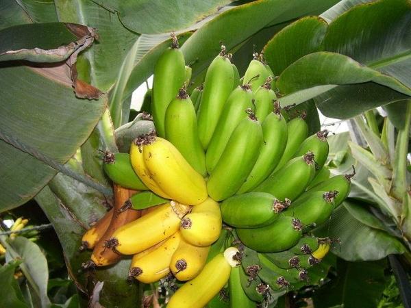 Cum alegem corect bananele