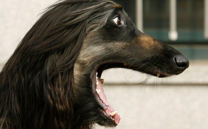 Snuppy, primul câine clonat al lumii, s-a născut în 2005.