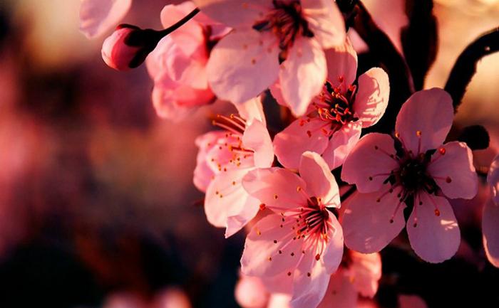 Florile de cireş - asociate foarte des cu efemeritatea vieţii umane