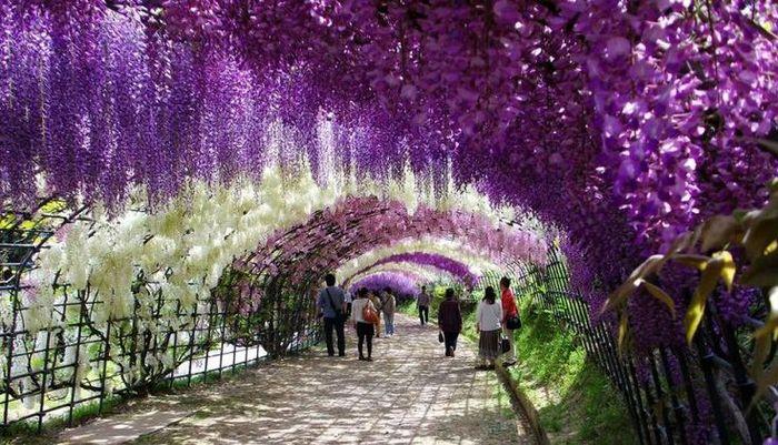 Tunelul de wisteria din Japonia
