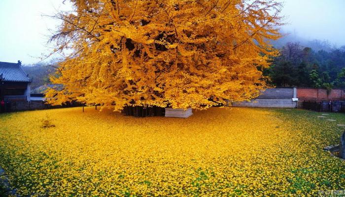 Ginkgo biloba: în fiecare toamnă planta milenară Ginkgo biloba din gradina unui templu budist lasă sub el un covor de frunze galbene strălucitoare.