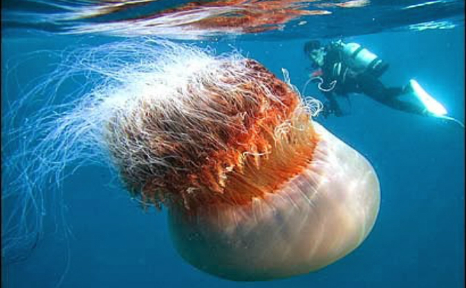 Meduza arctică (Cyanea capillata)