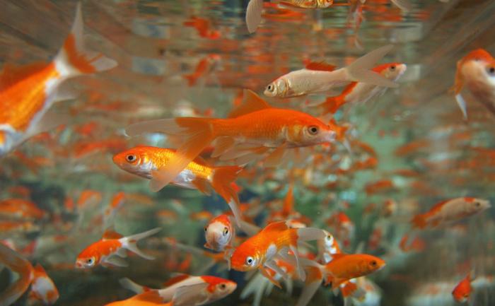 Peşti
