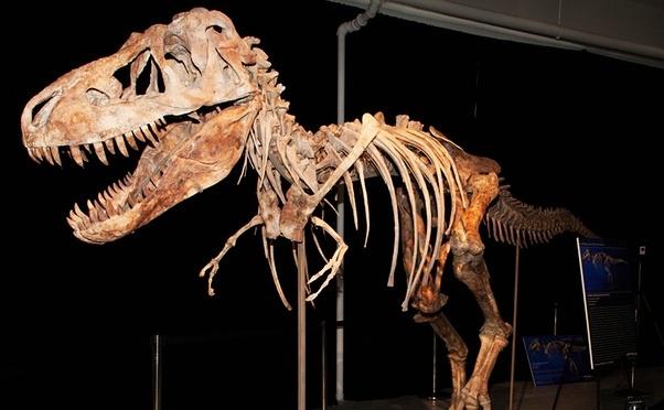 Scheletul unui dinozaur Tyrannosaurus bataar.