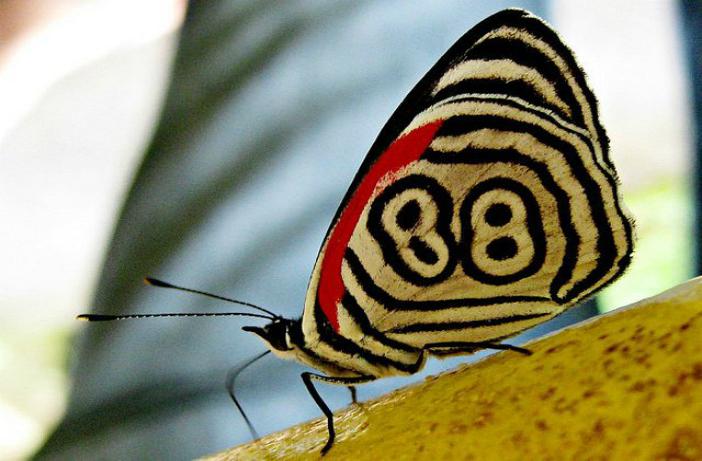 Fluturele 88