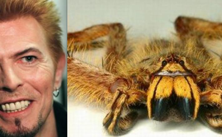 Păianjenul heteropoda David Bowie