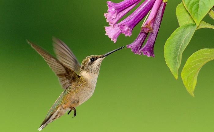 """Colibri sau """"Pasărea muscă"""" face parte din familia Trochilidae, o familie numeroasă cu peste 400 de specii răspândite numai în cele două Americi din Alaska până în Ţara de Foc, de pe ţărmul mărilor până în munţii înalţi acoperiţi cu zăpadă. Insă cele mai multe specii trăiesc în regiunile tropicale din America de Sud."""