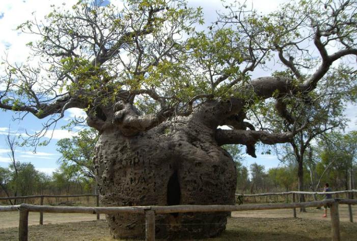Toborochi este o specie a familiei Bombacaceae, iar numele său ştiinţific este Chorisia.