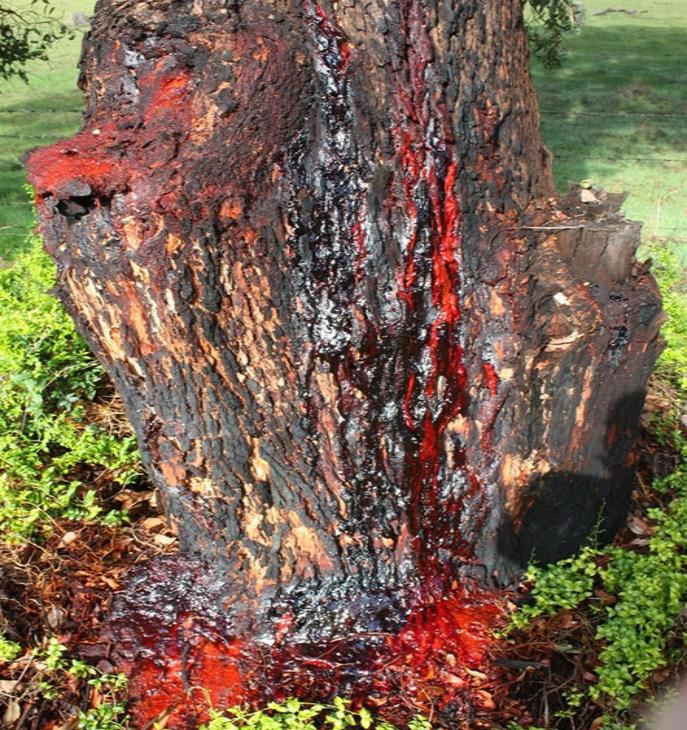 Pterocarpus angolensis sau arborele sânge de cocoş este originar din Africa de Sud.