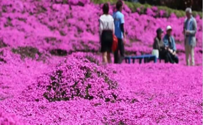 Shibazakura sau Rosales Musgosos, trandafiri roz antici