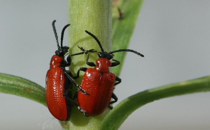 Gândaci Galerucella nymphaeae