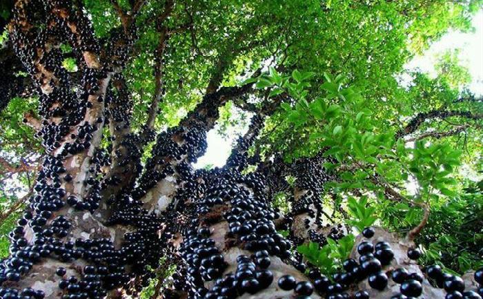 Jabuticaba (Myrciaria cauliflora) sau copacul brazilian de struguri