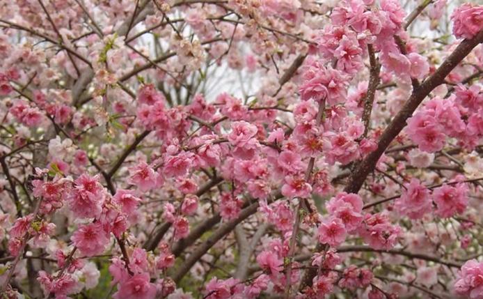 Flori de cireş în Vale Jerte, Spania
