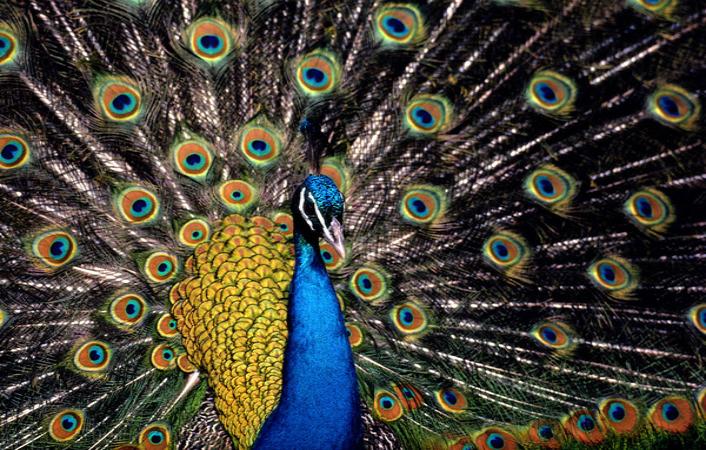 Păunul regal, un simbol al frumuseţii (video) | Epoch Times România