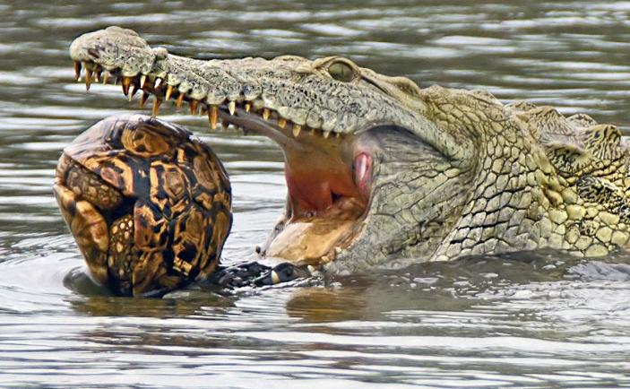 O broască ţestoasă leopard (Geochelone pardalis) în gura unui crocodil