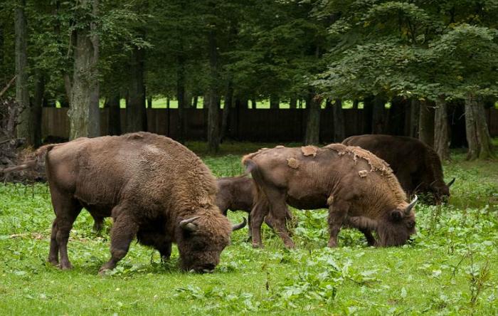 Bizoni în pădurea Bialowieza, Polonia
