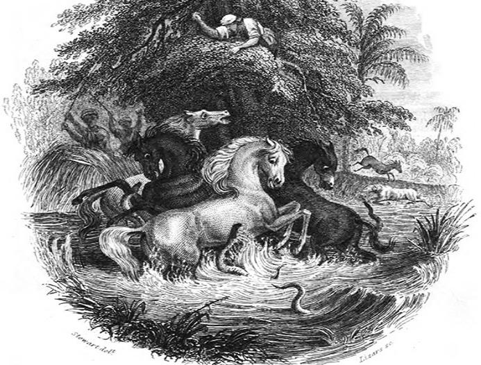 Scenă istorică a anghilelor electrice în timp ce atacă caii, surprinsă de către exploratorul Alexander von Humboldt