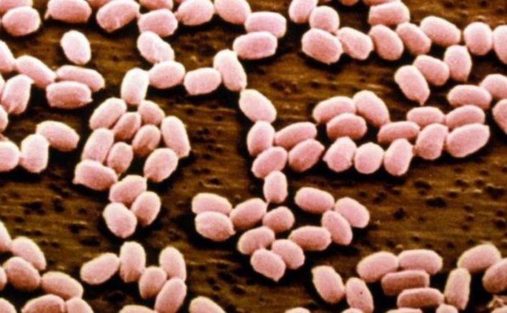 Bacteria Antrax sub microscop.