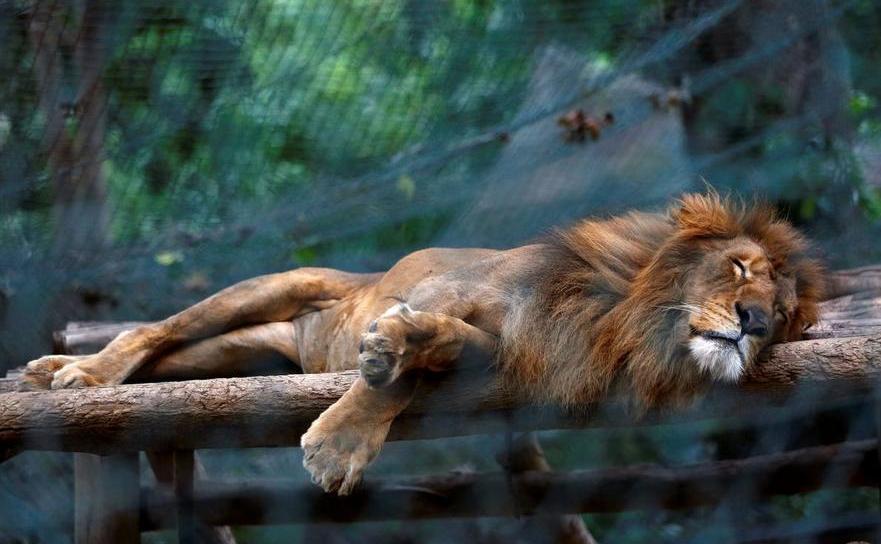 Leu subnutrit la Grădina Zoologică Caricuao din Caracas. Venezuela.