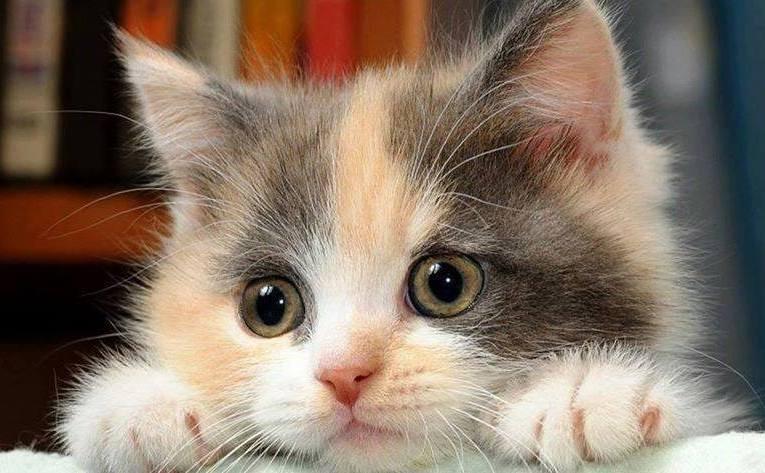 Pui de pisică