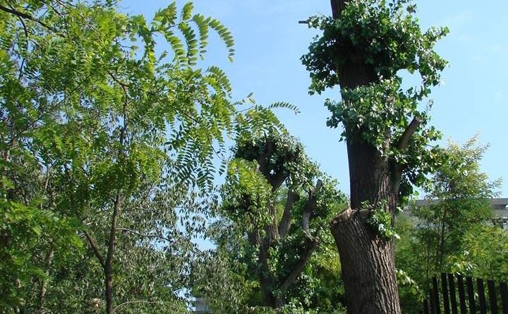 Copaci ciopârţiţi în sectorul 4
