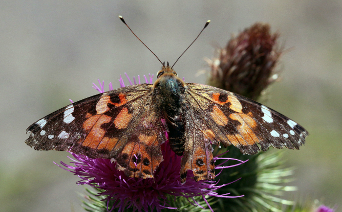 Fluturele Vanessa cardui