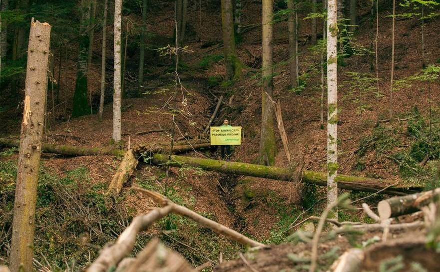 Tăierea pădurilor virgine continuă