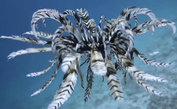 Crinoid (stea de mare cu pene sau crin-de-mare)