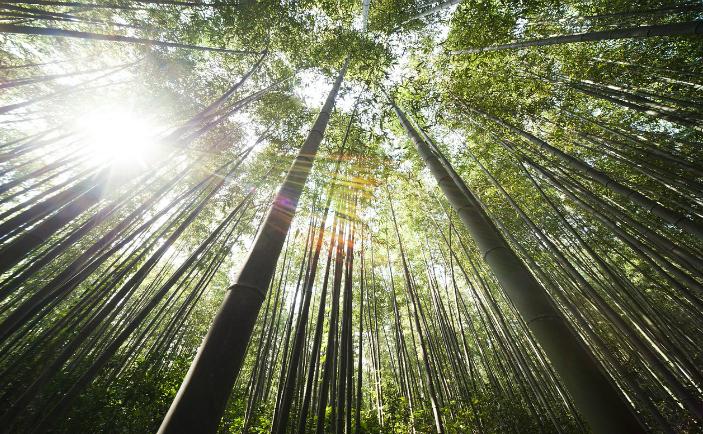 Pădure de bambus