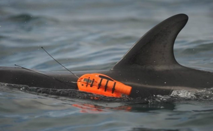 Delfin negru